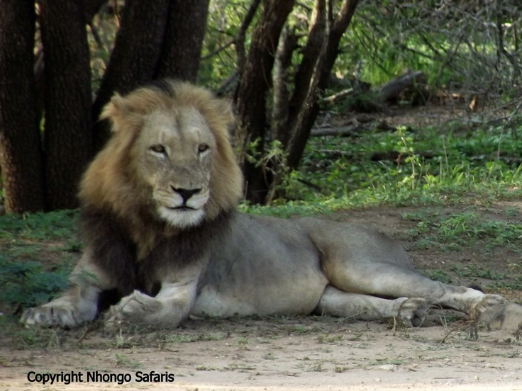 Male Lion lying close to the road.