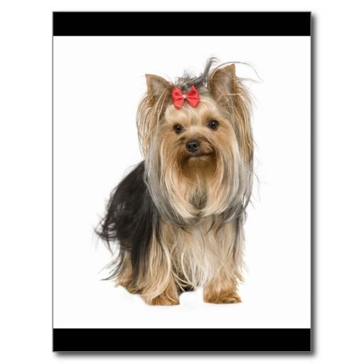 Yorkshire Terrier Puppy Dog Blank Postcard so please read the important details before your purchasing anyway here is the best buyShopping          	Yorkshire Terrier Puppy Dog Blank Postcard lowest price Fast Shipping and save your money Now!!...