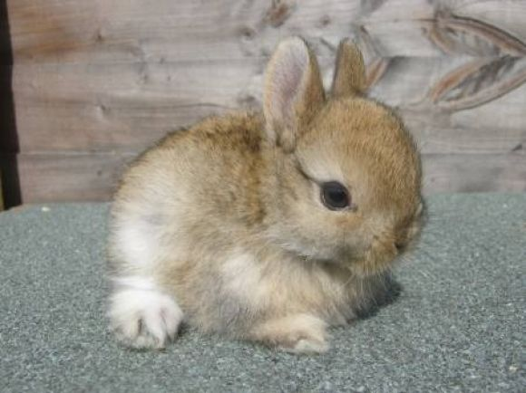 Netherland dwarf rabbit *** Oh, that is one of the cutest bunnies I have ever seen <3