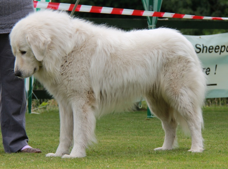 Google-Ergebnis für http://www.maremma-sheepdogs.co.uk/news/show_photos/IMG_0703.JPG