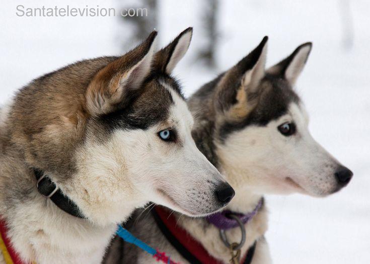 Huskies im Weihnachtsmanndorf in Rovaniemi, Lappland