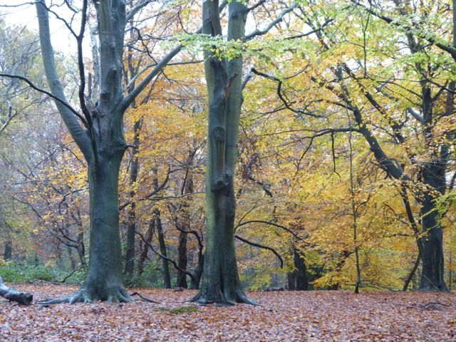 Stunning Autumn colours at Hampstead Heath today - Trees / Leaves / Nature / Colour