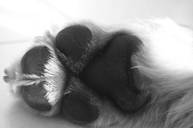 Golden Retriever paw