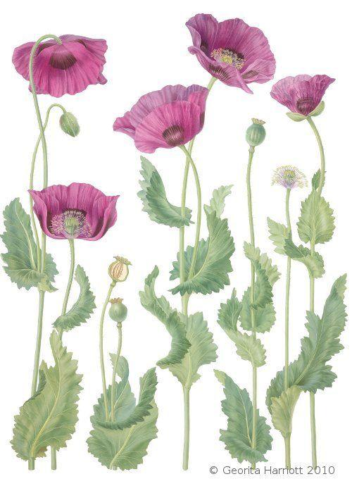 poppies #botanical #illustration Painting11.jpg 500×690 pixels