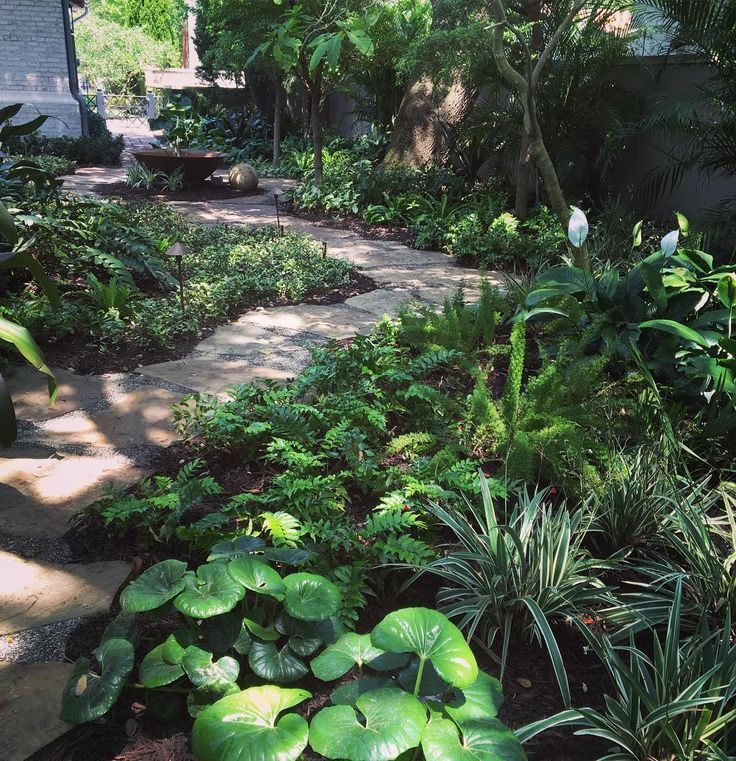 A tropical shade garden with clumps of Farfugium, Holly fern, Peace lily, Birdnest ferns, Firespike and Crinum lily #tropicalgarden #shadegarden #southtampa #tampabay #gardensmith #landscape_collection #landscaping