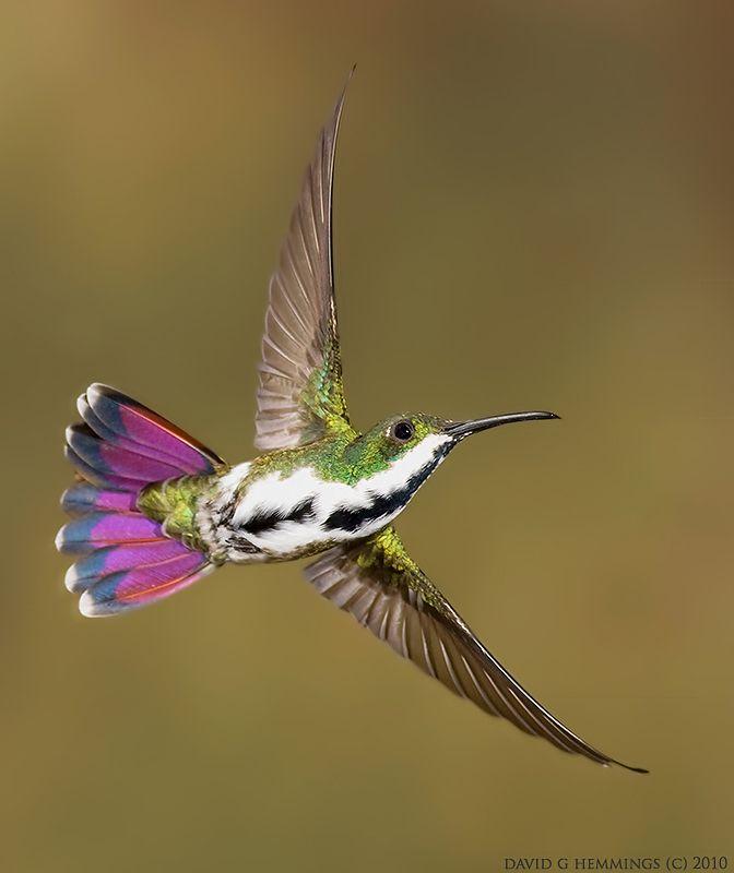 Green Throated Mango Hummingbird