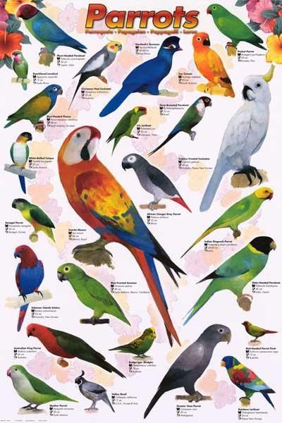 Anawesome poster ofa wide variety of beautiful Parrots (Psittaciformes)! Perfect for Pet Stores, Classrooms, and Parrot Heads. Fully licensed. Ships fast. 24x