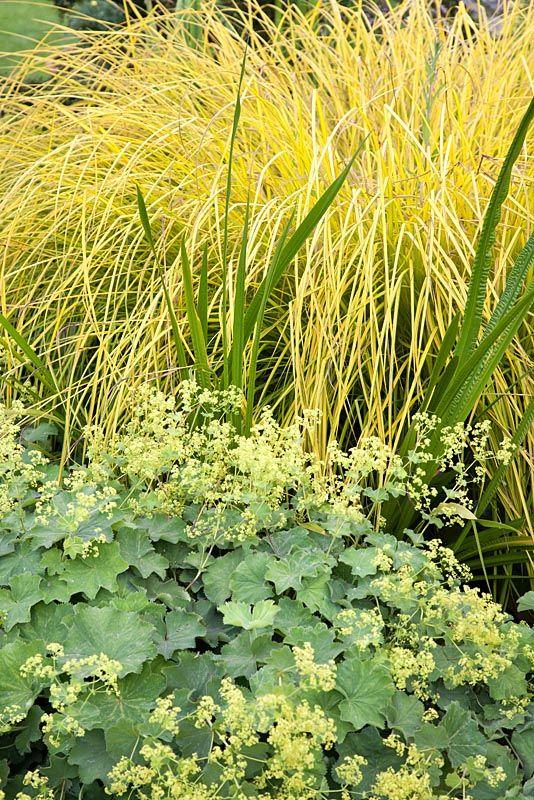 22 best images about garden alchemilla mollis on pinterest. Black Bedroom Furniture Sets. Home Design Ideas