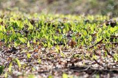 Bärlauch im eigenen Garten säen