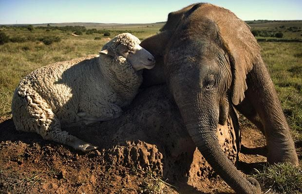 Eight-month-old orphan elephant Themba, whose name means 'hope'  in Xhosa, has struck up a friendship with a sheep called Albert at the Shamwari Game Reserve in South Africa