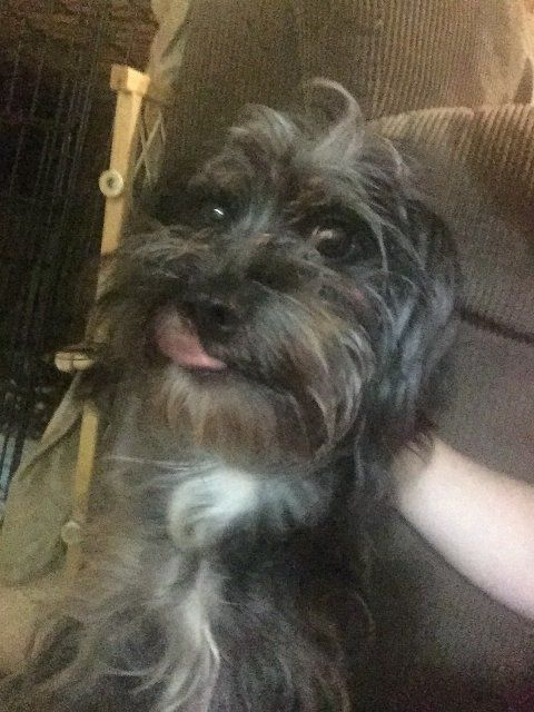 ADOPTED!!  Mary Esther, FL - Meet Shaggy, an adoptable Schnauzer looking for a forever home;  LOCATED at Save UnderDogs, Mary Esther, FL