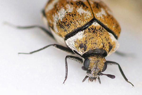 How To Get Rid Of Carpet Beetles In This Article We Will Cover The Solutions To Get Rid Of Carpet Beet In 2020 Best Pest Control Insect Identification Insect Control