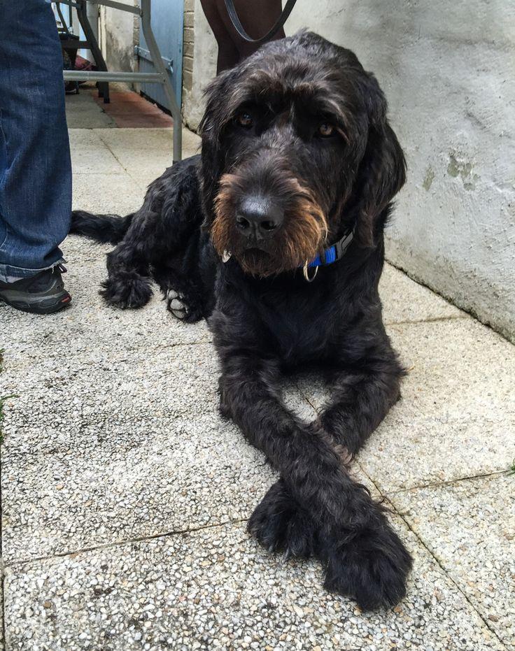 C'est officiel, Igor est un chien guide d'aveugle, il a obtenu son certificat !