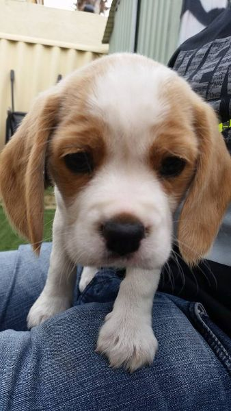 Beagliers sm_hr button text=Beaglier Puppies For Sale link= http://chevromist.com/?page_id=2154 Description The Beaglier is an attractive little dog with loads of character and personality. It