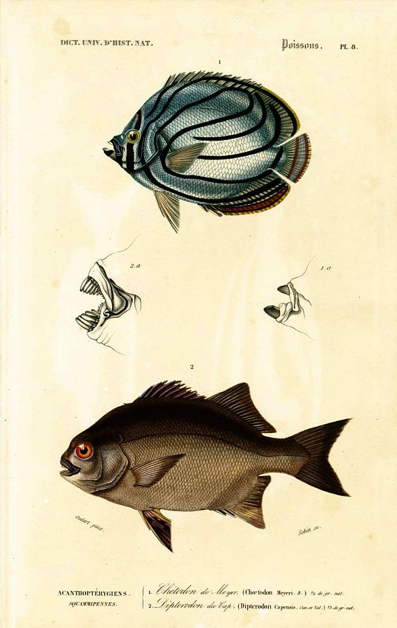 AUTHENTIC 1800s ENGRAVING  This print is taken from the Dictionnaire Universel d'Histoire Naturelle, a publication directed by the french naturalist Charles Henry Dessaline... #orbigny #butterflyfish #oceanology