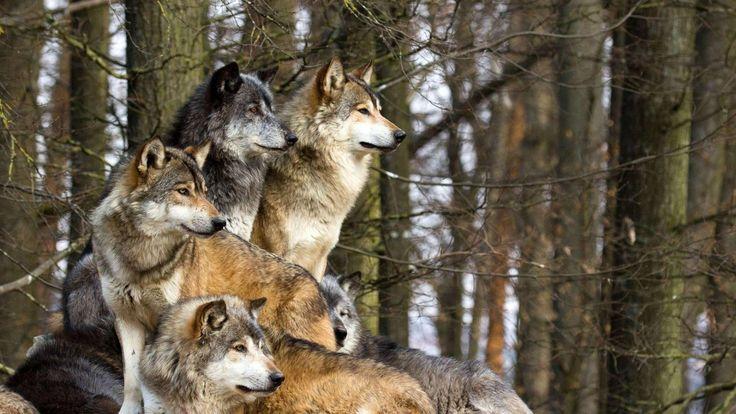 Wolves Live Taustakuvia - Google Play Store revenue & download estimates - Finland