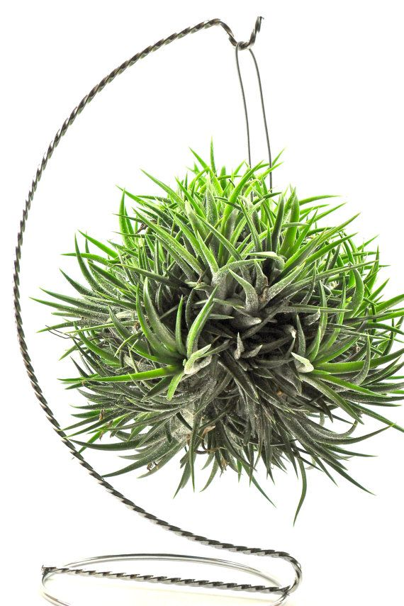 air plant - i need some more ... but cat resistant!  Lol.
