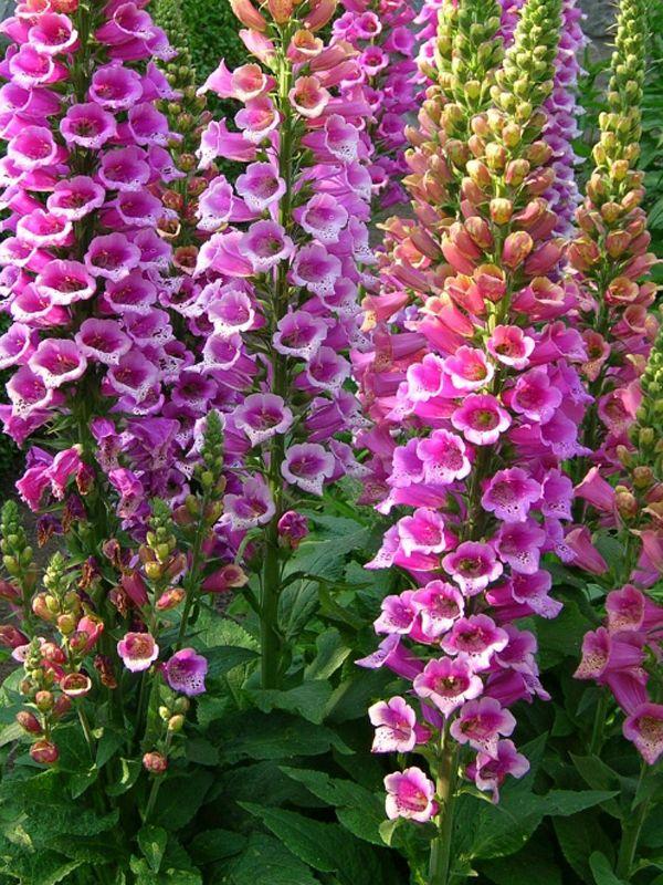 digitalis purpurea candy mountain foxglove log house plants