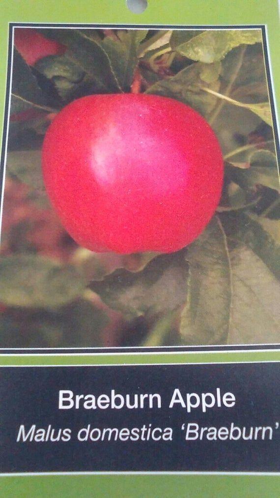 Braeburn Apple Tree 5 Gallonen Sweet Fruit Plant Lebende Bäume Wachsen Sie Ihre eigenen …   – home