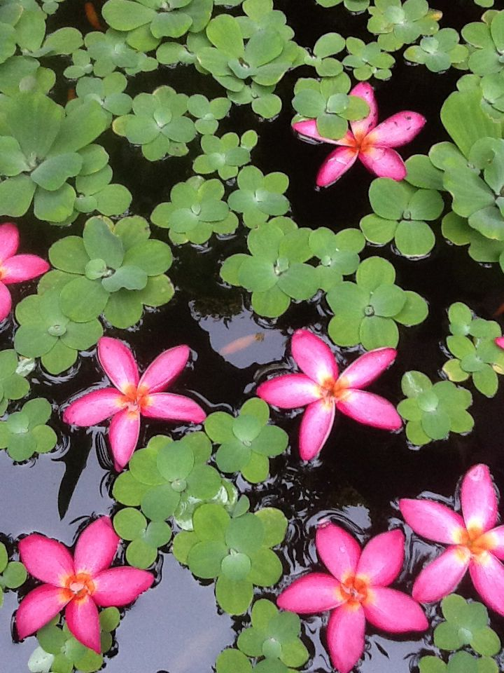 Water flowers in Thailand