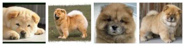 Chow Chow... no no... Poss is trying to convince us to buy her a Chow Chow... http://www.aboutabugg.com