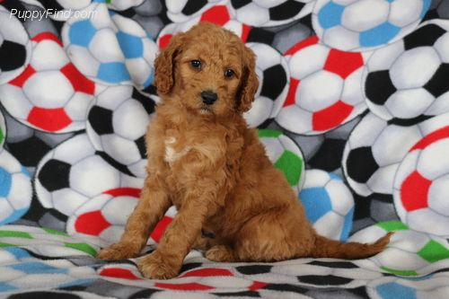 Find your perfect puppy at PuppyFind.com! Browse through breeders with puppies of all types for sale, and dogs for adoption... it's time to add a little wiggle to your life.