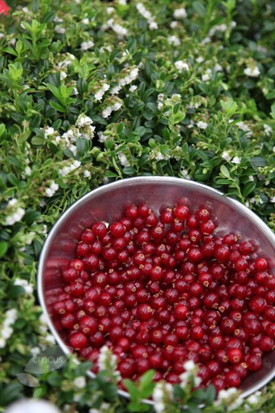 Cowberry Vaccinium vitis-idaea 'Red Candy'