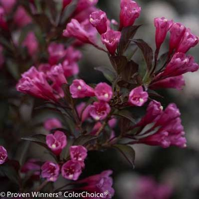 The Only Weigela with Dark Foliage and Bright Blooms - • dark glossy foliage resembles a deep red wine • bright pink blooms resemble roses • one of the few reblooming weigelas • landscapers love using this plant in high end neighborhoods Unique Color You Won't Find in Other Plants The Wine and Roses Weigela's leaves are a...