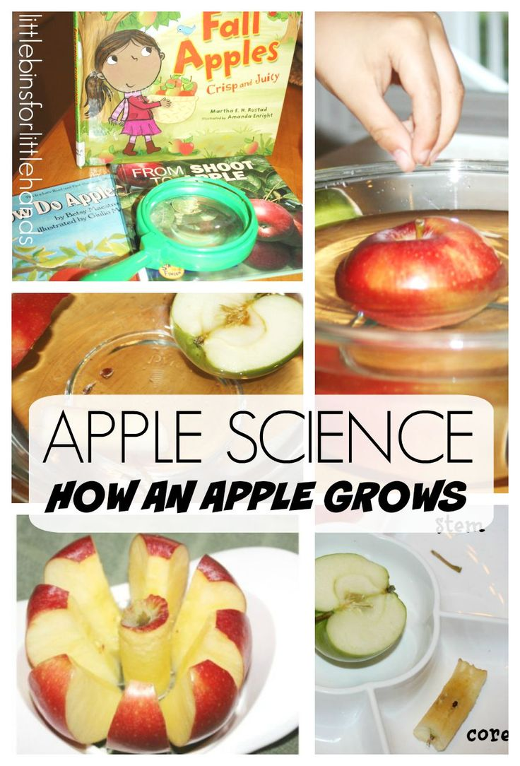 Preschool and kindergarten apple science activity center. Learn about how an apple grows. Use the five senses to learn all about apples with hands on activities that include sensory, science experiments, math, and literacy.