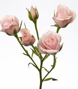 Majolika - Spray Rose - Roses - Flowers by category | Sierra Flower Finder