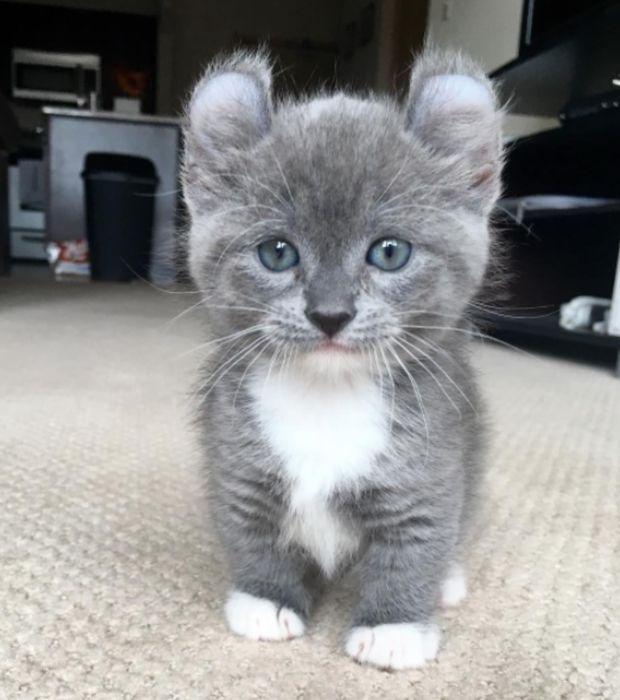 Foto: GATTI: Il Munchkin - Anche quando cresce, ha sempre le dimensioni di un gattino