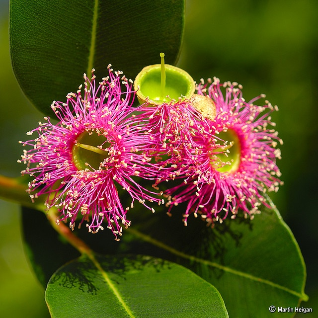 Eucalyptus ficifolia - Pink Flowering Gum by Martin Heigan@Flickr