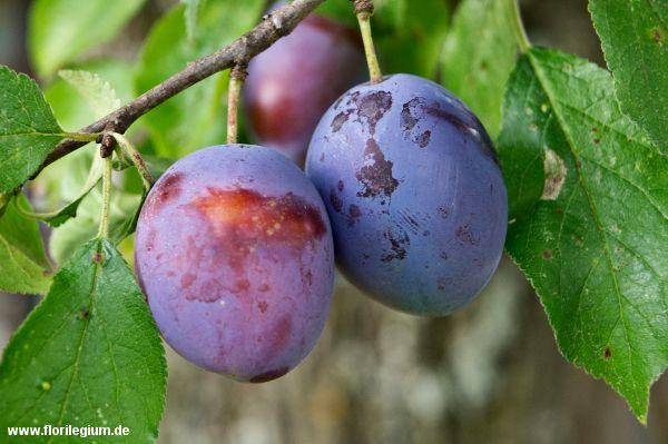 #Zwetschge (#Prunus domestica) http://www.florilegium.de/blog/pflanzen/straeucher-und-baeume/die-echte-zwetschge-prunus-domestica.html