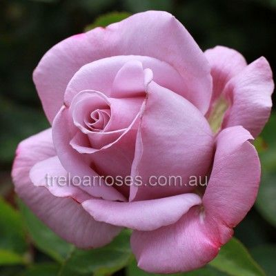 Vol De Nuit :- A very fragrant exhibition bloom in a beautiful form.