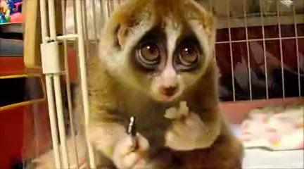 k Los loris perezosos2 (Nycticebus) son un género de primates perteneciente al suborden Strepsirrhini. Habitan en el sur y el sudeste de Asia, desde Bangladés y el noreste de India en el oeste hasta Filipinas en el este, y desde la provincia china de Yunnan en el norte hasta la isla de Java en el sur.Los loris perezosos poseen una cabeza redondeada, un hocico pequeño, ojos grandes y patrones de coloración en el pelaje diferentes en cada especie.