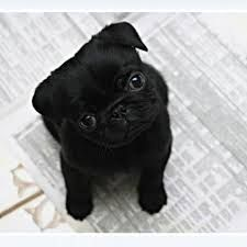 Image result for cute baby pugs tumblr