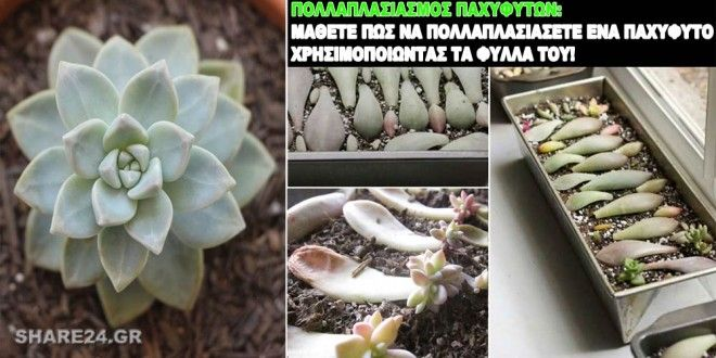 Πολλαπλασιασμός Παχυφύτων από τα Φύλλα! Μια Εκπληκτική Μέθοδος που θα Σας Εντυπωσιάσει!
