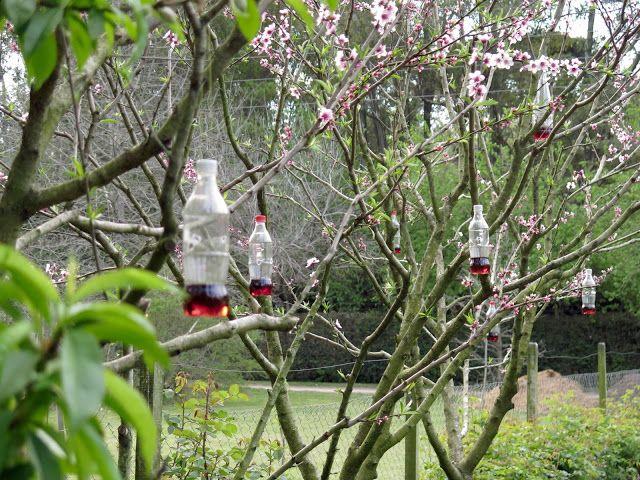 En el jardin: Árboles frutales cuando estan floreciendo vinagre de vino con azucar