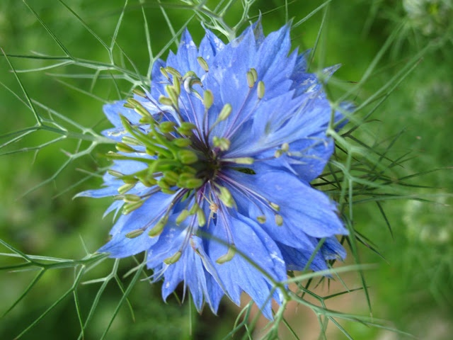 love-in-a-mist - spreads easily by seed