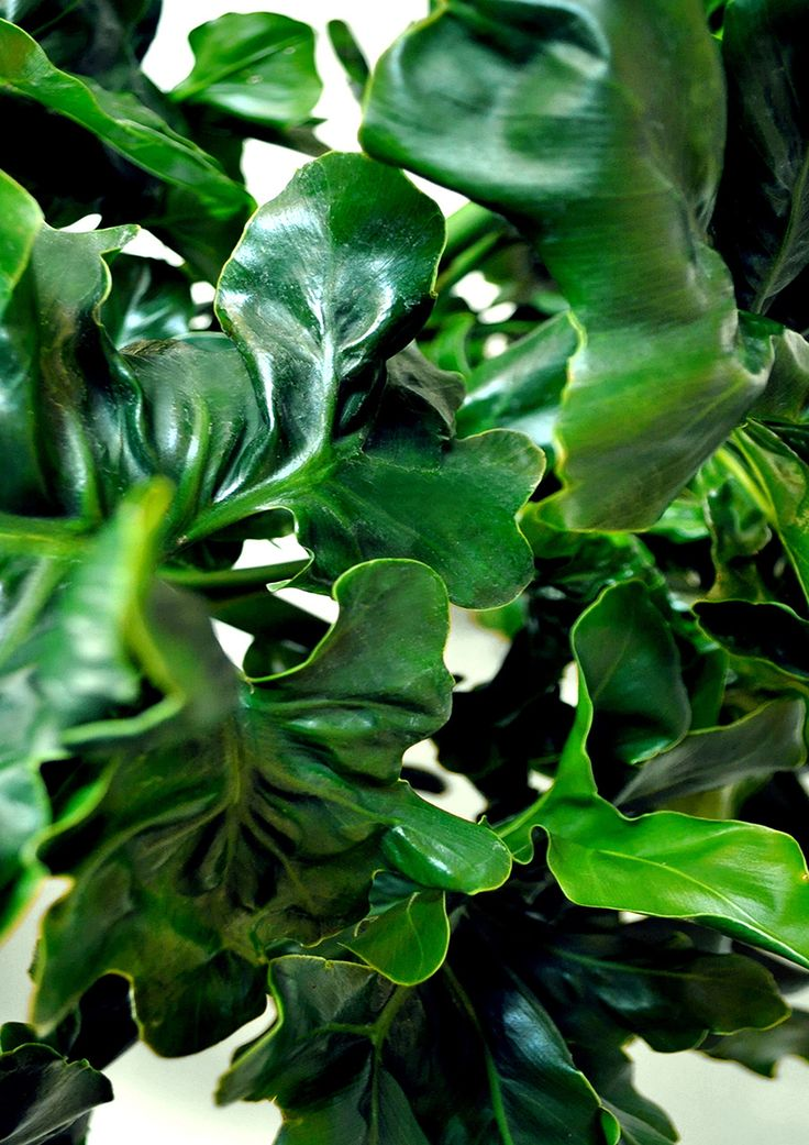 Philodendron selloum 'Super Atom' aka Cabbage Patch. Water: Keep dry between watering. Sunlight: Indoor bright indirect light or outdoors in partial shade. Feed: During spring/summer feed monthly with liquid fertiliser. | huntingforgeorge.com