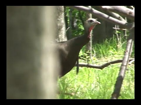 Real Turkey Gobbles, Clucks, Purs For Turkey Calling Practice @GrowingDeer.tv - YouTube
