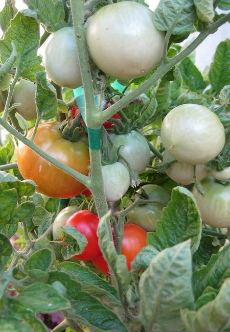 101 best images about Tomatoes and tomatillos on Pinterest ...