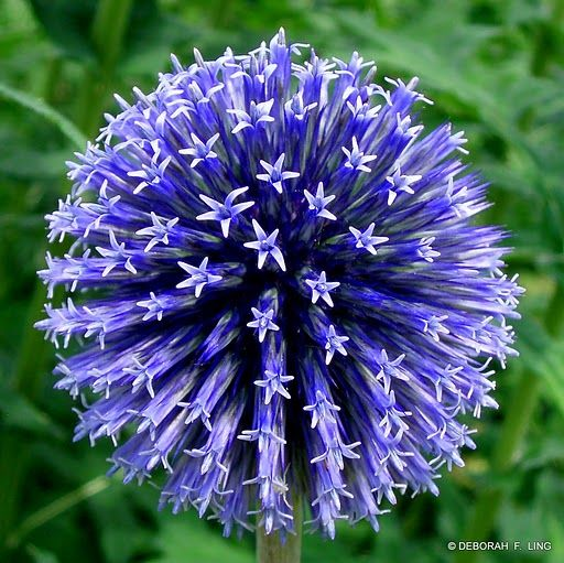 Find useful gardening tips and articles at http://www.thebloomingoasis.com  Globe Thistle (Echinops)