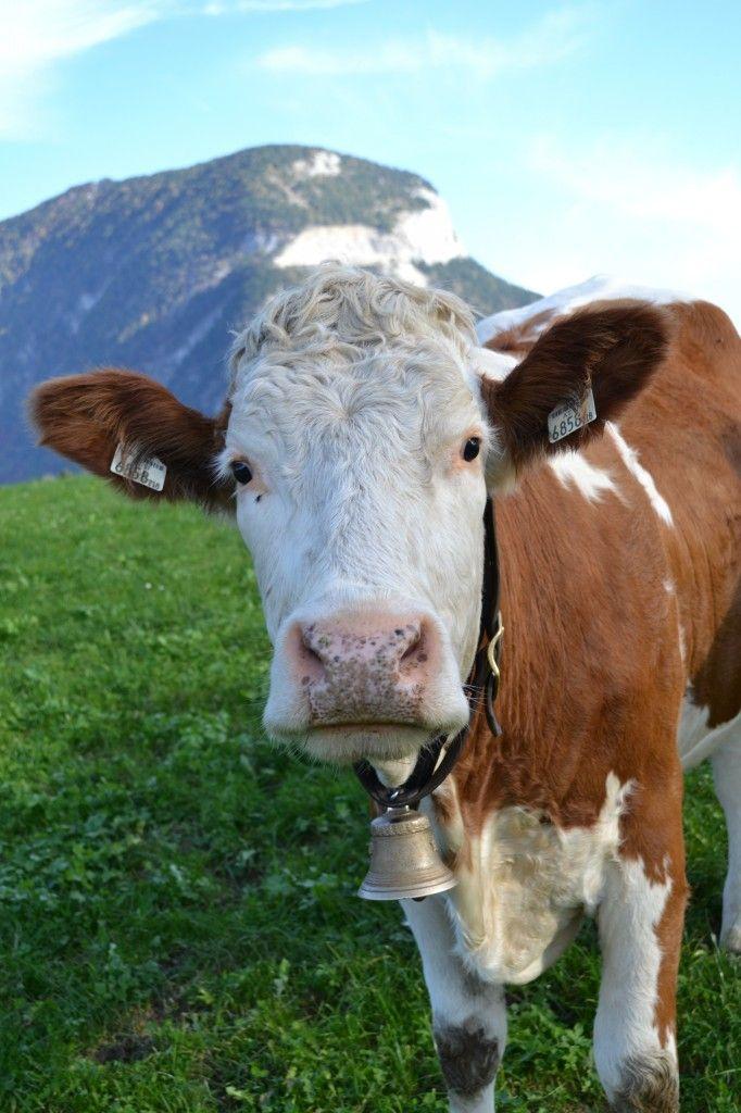 Die Besten 25 Kuh Ideen Auf Pinterest Babyk He S E