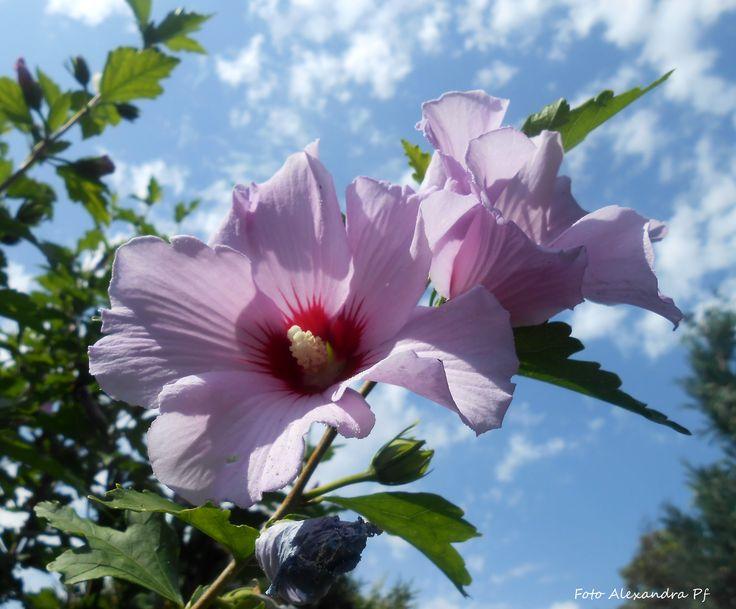 Ibišek - foto z naší zahrady
