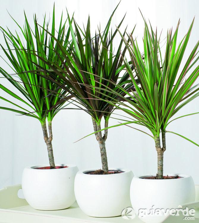 Dracaena marginata. Planta de interior
