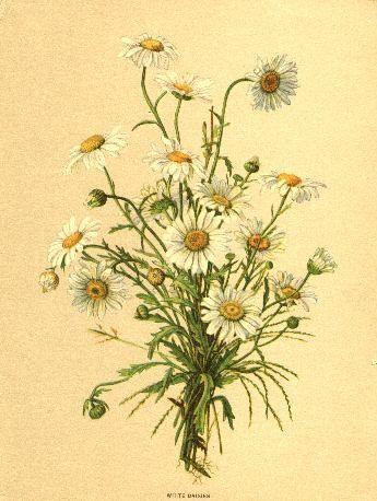 Vintage daisies