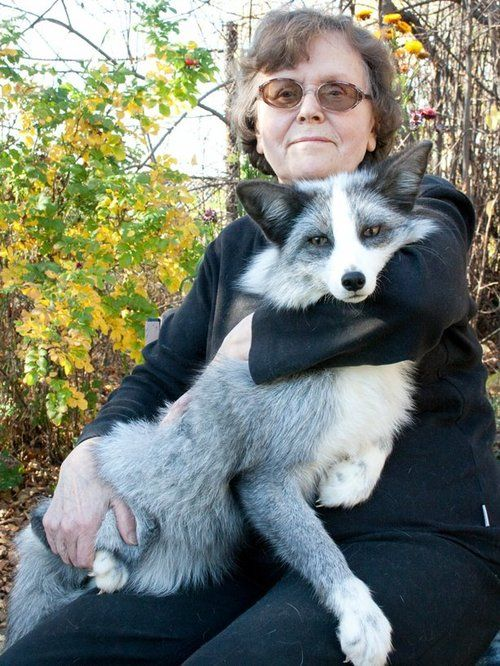 New pet that I definitely need. The domesticated silver fox (marketed as the Siberian fox)