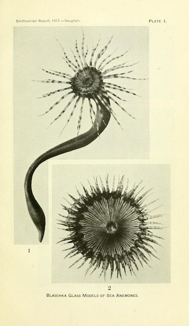 """Plate I. """"Blaschka glass models of sea anemones."""" Annual report of the Board of Regents of the Smithsonian Institution. 1917."""