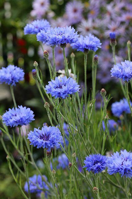 Centaurea cyanus - asteraceae - flower = blue capitulum - ray florets surrounding disk flowers - actinomorphic - grey green leaves and stems - wildflower meadow - cottage garden  CHALK
